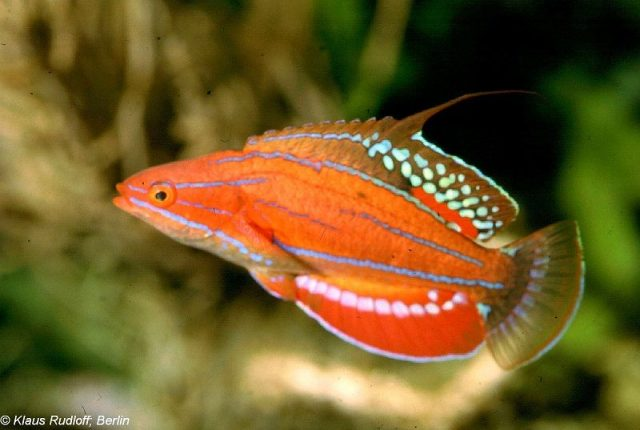Gambar Ikan Hias Air Laut Carpenter's flasher wrasse