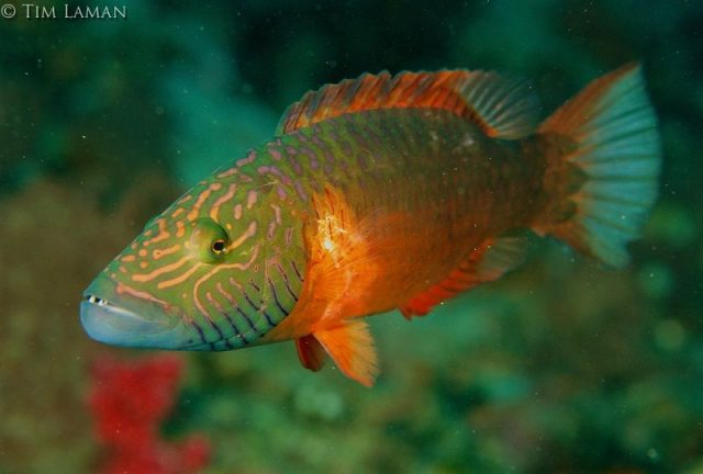 Gambar Ikan Hias Air Laut Cheeklined maori wrasse