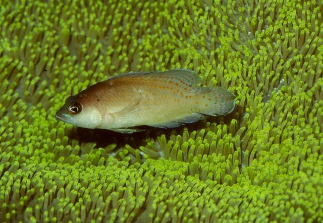 Gambar Ikan Hias Air Laut Cherry dottyback