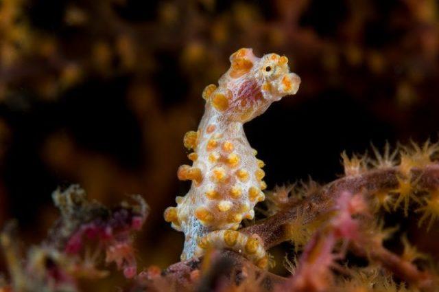 Gambar Ikan Hias Air Laut Dari Jenis Seahorses ( Kuda Laut ) Pygmy seahorse