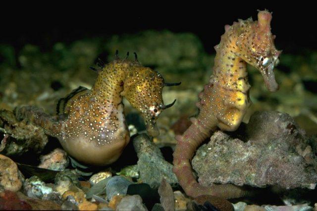 Gambar Ikan Hias Air Laut Dari Jenis Seahorses ( Kuda Laut ) Short-snouted seahorse