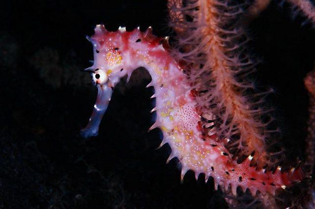 Gambar Ikan Hias Air Laut Dari Jenis Seahorses ( Kuda Laut ) Thorny Seahorse