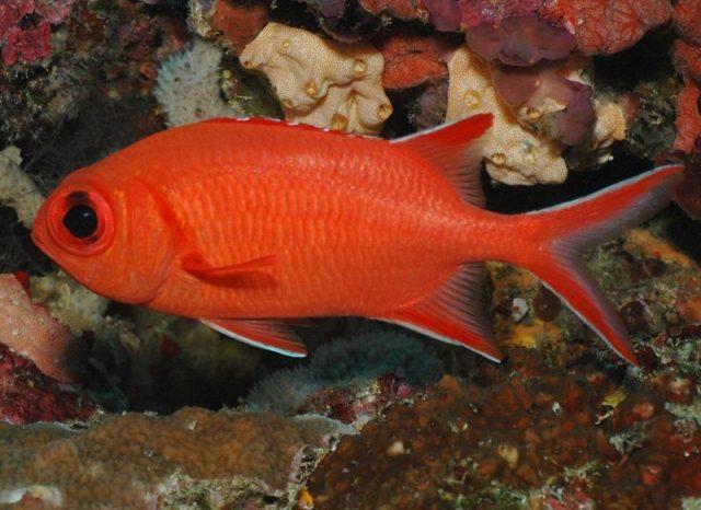 Gambar Ikan Hias Air Laut Dari Jenis Squirrelfish
