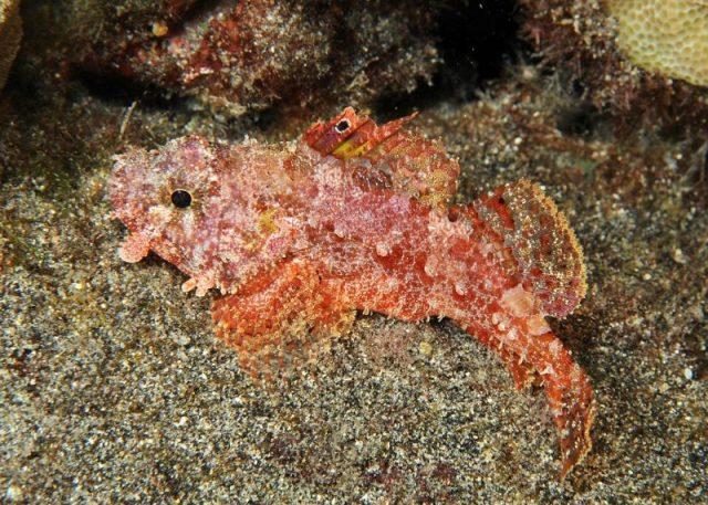 Gambar Ikan Hias Air Laut Decoy scorpionfish