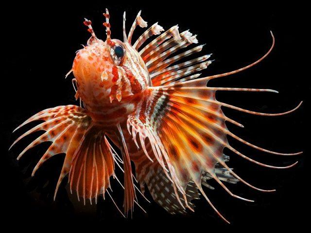 Gambar Ikan Hias Air Laut Devil lionfish