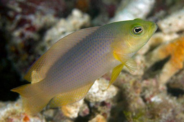 Gambar Ikan Hias Air Laut Dilectus dottyback