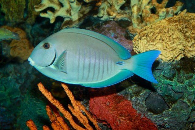 Gambar Ikan Hias Air Laut Doctorfish