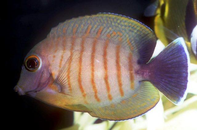 Gambar Ikan Hias Air Laut Eibli mimic tang