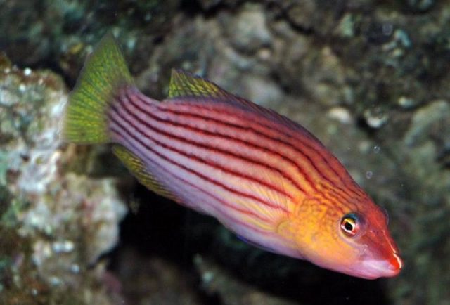 Gambar Ikan Hias Air Laut Eight line wrasse