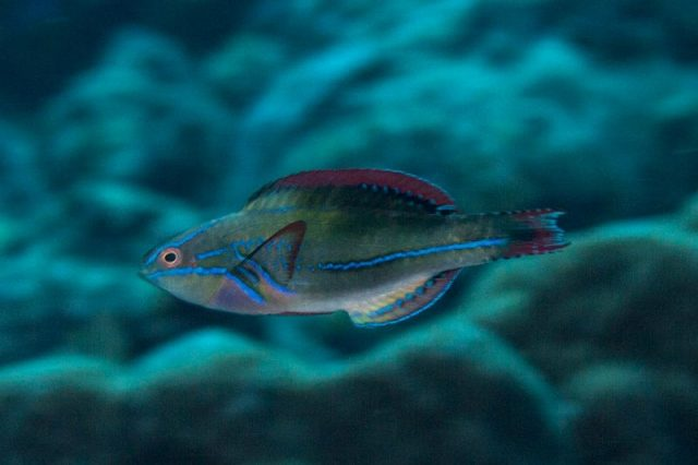 Gambar Ikan Hias Air Laut Exquisite fairy wrasse