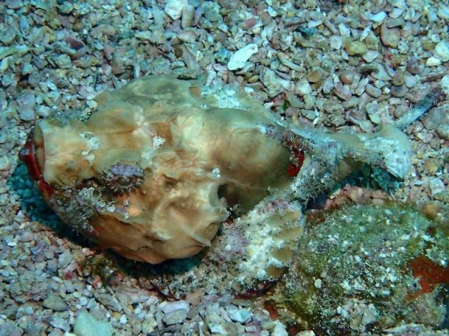 Gambar Ikan Hias Air Laut Flasher scorpionfish