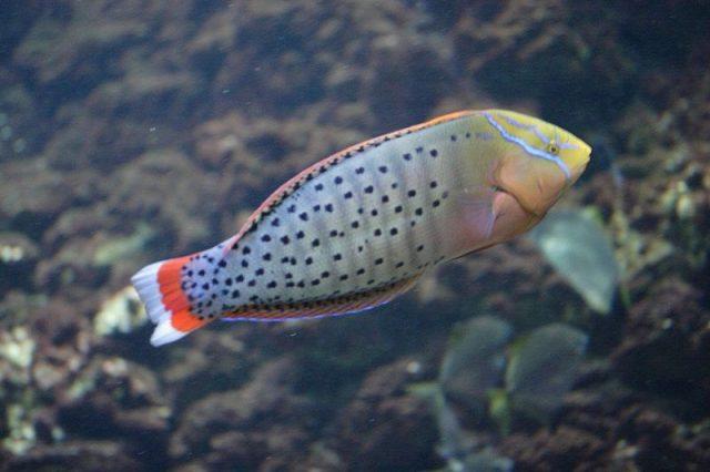 Gambar Ikan Hias Air Laut Formosa wrasse
