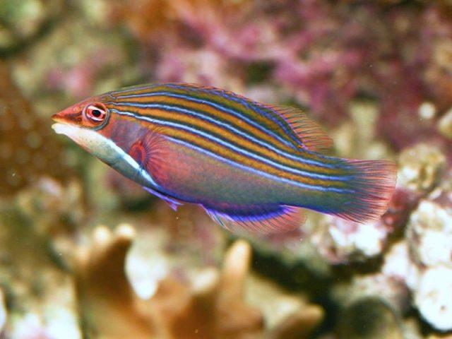 Gambar Ikan Hias Air Laut Four line wrasse