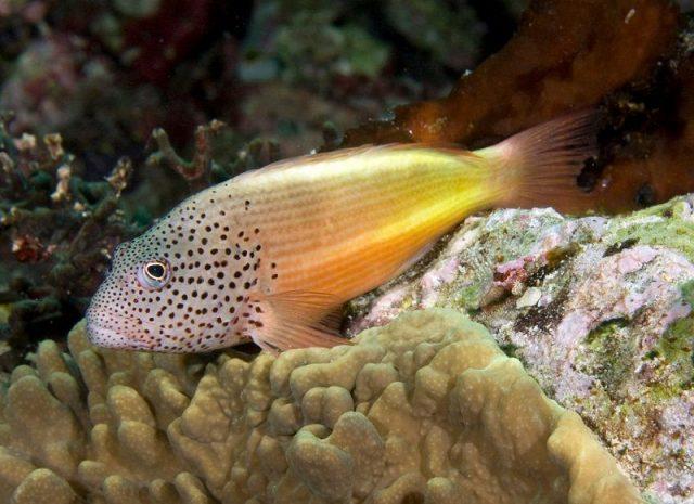 Gambar Ikan Hias Air Laut Freckled hawkfish