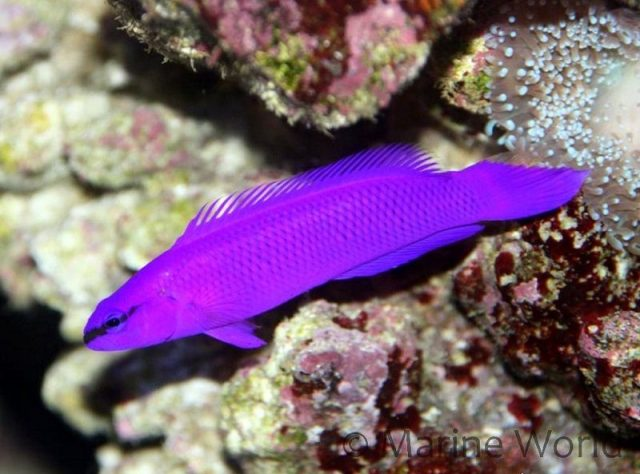 Gambar Ikan Hias Air Laut Fridmani pseudochromis atau orchid dottyback