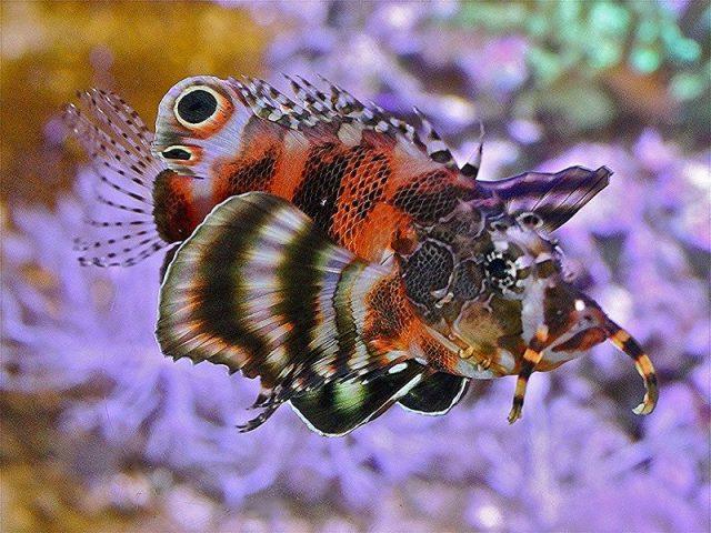 Gambar Ikan Hias Air Laut Fu Man Chu lionfish