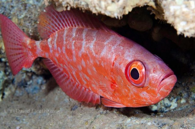 Gambar Ikan Hias Air Laut Glass eye squirrelfish