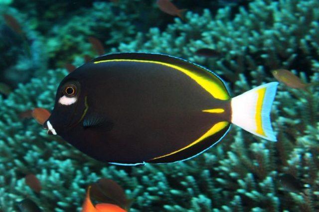 Gambar Ikan Hias Air Laut Gold rim tang