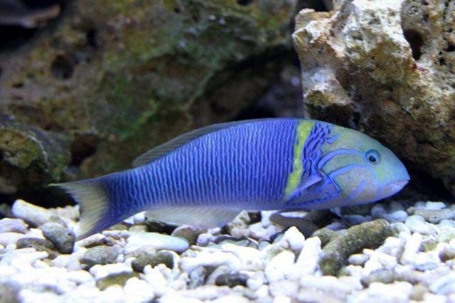 Gambar Ikan Hias Air Laut Goldbar wrasse