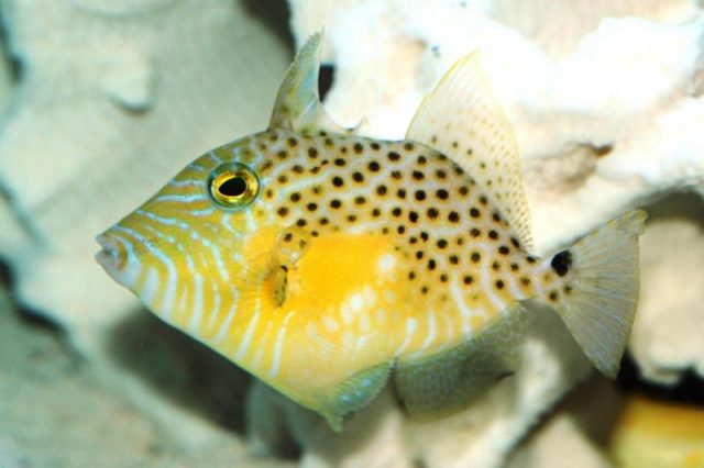 Gambar Ikan Hias Air Laut Golden heart trigger