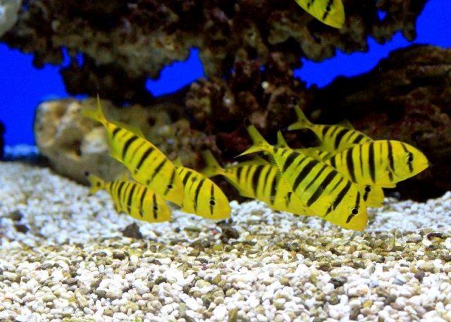 Gambar Ikan Hias Air Laut Golden pilotfish