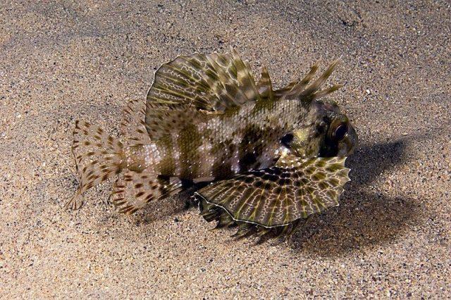 Gambar Ikan Hias Air Laut Green lionfish