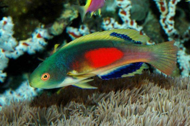 Gambar Ikan Hias Air Laut Greenback fairy wrasse