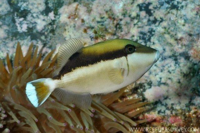 Gambar Ikan Hias Air Laut Halfmoon trigger