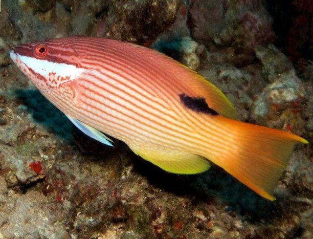 Gambar Ikan Hias Air Laut Hawaiian hogfish