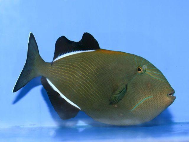 Gambar Ikan Hias Air Laut Indian black trigger