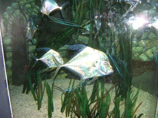 Gambar Ikan Hias Air Laut Indian threadfin