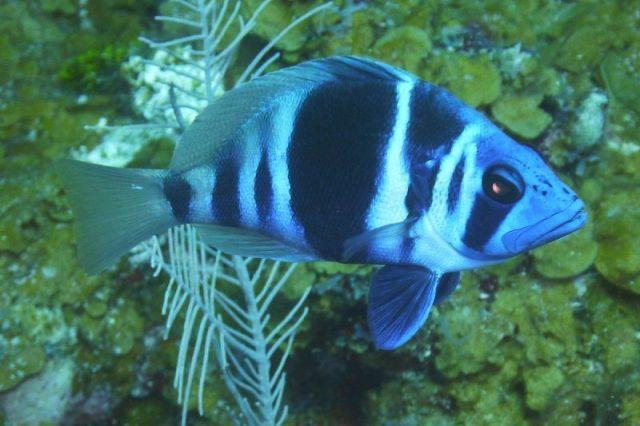 Gambar Ikan Hias Air Laut Indigo hamlet