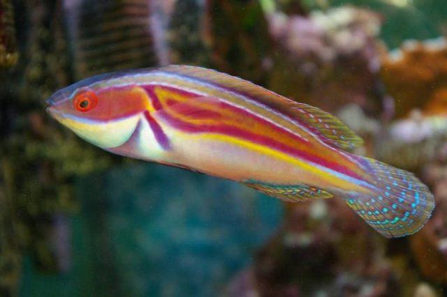 Gambar Ikan Hias Air Laut Labout's fairy wrasse