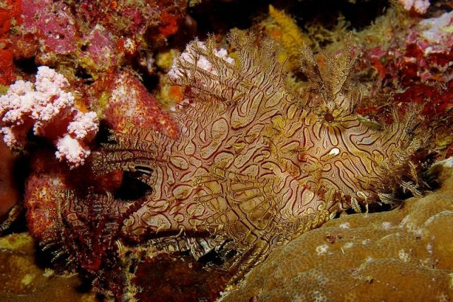 Gambar Ikan Hias Air Laut Lacey scorpionfish