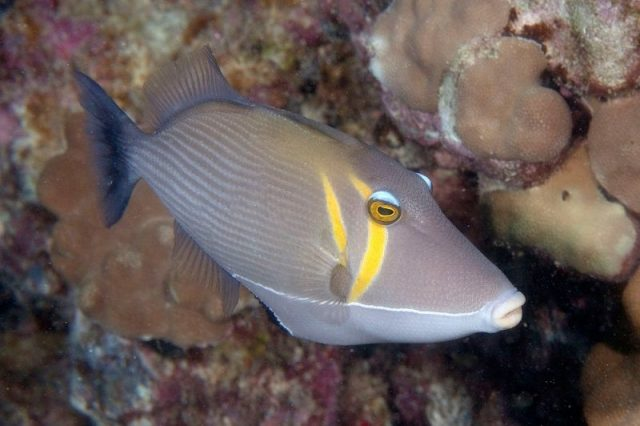 Gambar Ikan Hias Air Laut Lei trigger