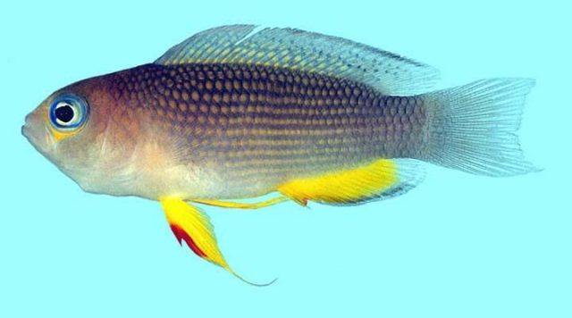 Gambar Ikan Hias Air Laut Longfin dottyback