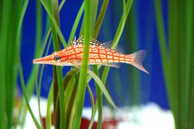 Gambar Ikan Hias Air Laut Longnose hawkfish