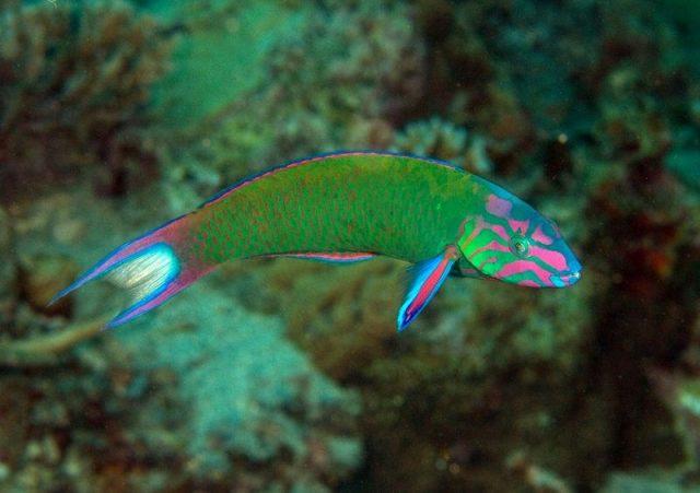 Gambar Ikan Hias Air Laut Lyretail wrasse atau Moon wrasse
