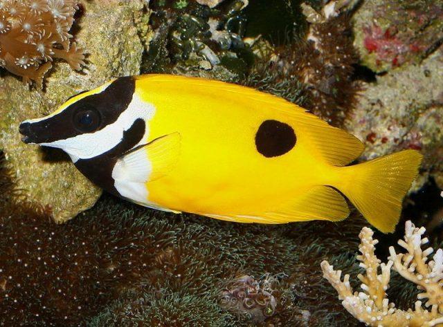 Gambar Ikan Hias Air Laut Magnificent foxface