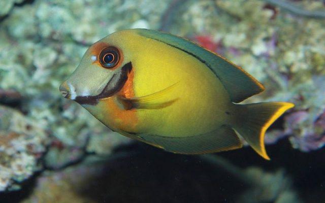 Gambar Ikan Hias Air Laut Mimic tang, Chocolate tang