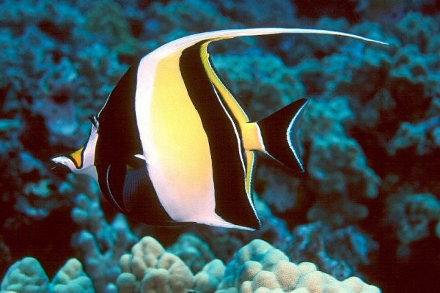 Gambar Ikan Hias Air Laut Moorish idol