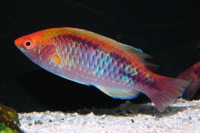 Gambar Ikan Hias Air Laut Multicolor lubbock's wrasse