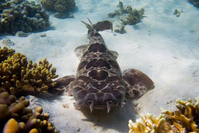 Gambar Ikan Hias Air Laut Northern wobbegong shark