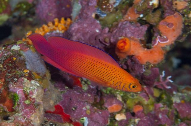 Gambar Ikan Hias Air Laut Oblique-lined dottyback