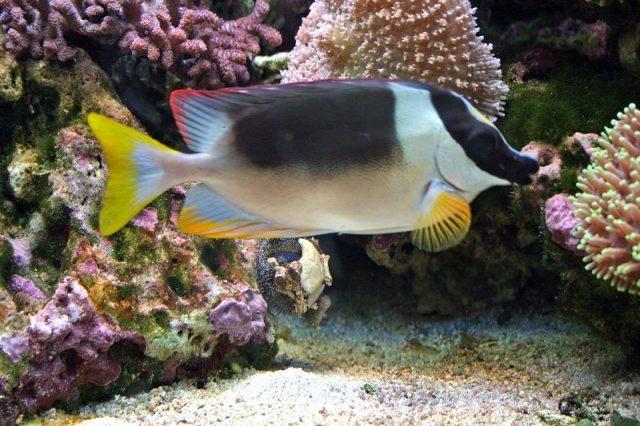 Gambar Ikan Hias Air Laut One Spot Foxface
