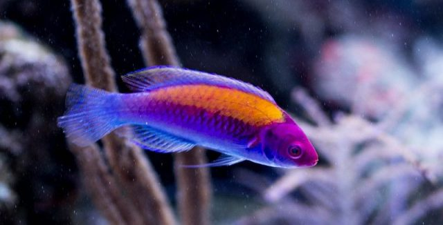 Gambar Ikan Hias Air Laut Orange-back fairy wrasse