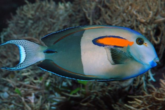 Gambar Ikan Hias Air Laut Orange shoulder tang