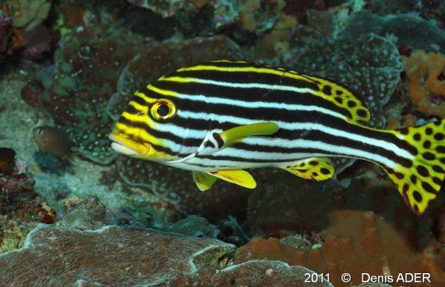 Gambar Ikan Hias Air Laut Oriental sweetlips