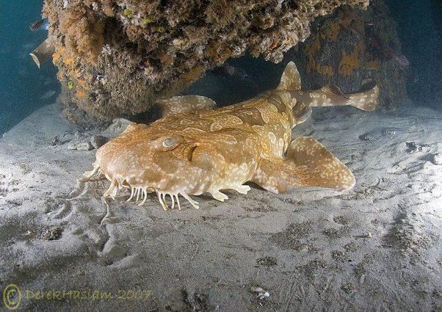 Gambar Ikan Hias Air Laut Ornate wobbegong shark