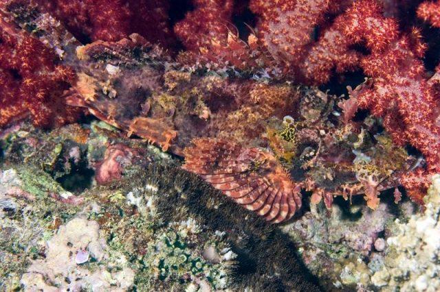 Gambar Ikan Hias Air Laut Papuan scorpionfish